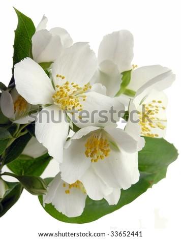 white flowers of jasmine - stock photo