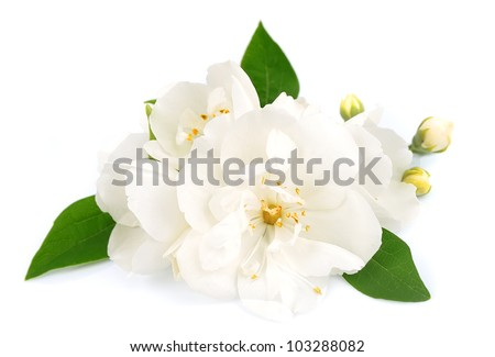 White flowers of jasmine on the white - stock photo