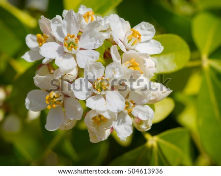White flowers of mexican orange blossom