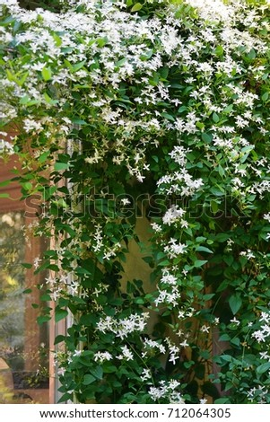 White flowers nonclimbing clematis vine recta stock photo royalty white flowers of non climbing clematis vine recta purpurea mightylinksfo