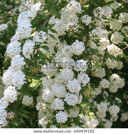 White flowers spirea bush spring stock photo royalty free white flowers of spirea bush in spring mightylinksfo Gallery