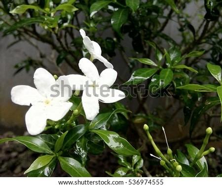 White flowers tabernaemontana pinwheel flower grape stock photo white flowers of tabernaemontana pinwheel flower grape jasmine evergreen shrub blossom after rain mightylinksfo