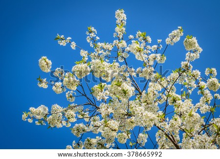 white flowers on the tree in spring - stock photo