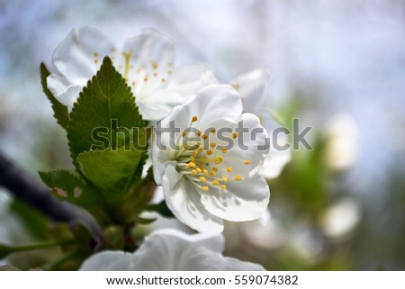 White flowers yellow stamens on blurred stock photo image royalty white flowers with yellow stamens on blurred background blooming branch of cherry tree springtime mightylinksfo