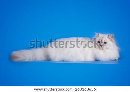 white fluffy cat on a blue background isolated - stock photo