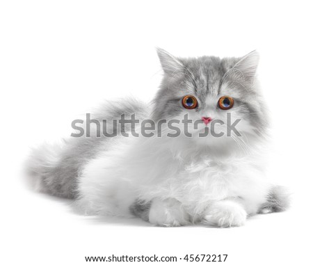 White fluffy classic persian cat isolated on white - stock photo