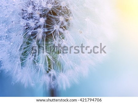 White fluffy dandelion closeup on a gentle background. white fluff gentle refined and gentle sunlight illuminates the ball of dandelion