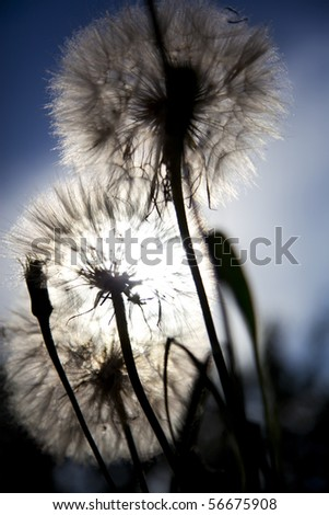 white fluffy dandelions on sunset background