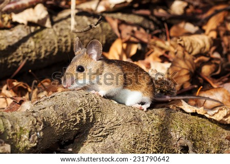 White footed mouse (woodmouse, Peromyscus leucopus) walking on branch, springtime - stock photo