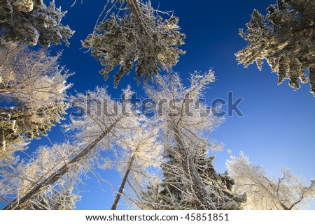 White forest in winter with snow and blue sky