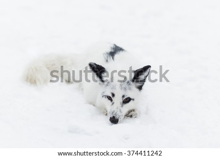 white Fox in the snow