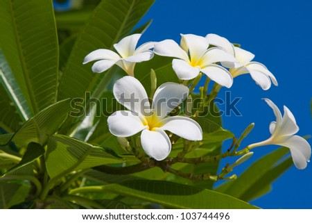 White Frangipani flower at full bloom during summer (plumeria) - stock photo