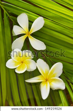 White frangipani flowers and palm leaf texture - stock photo