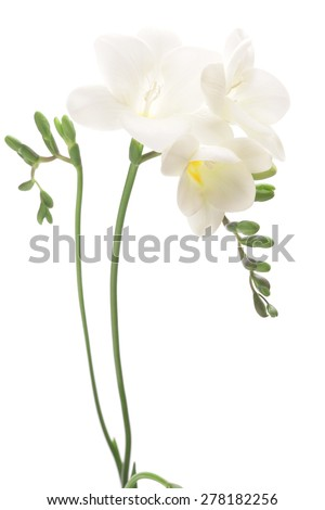 White freesia isolated on white background