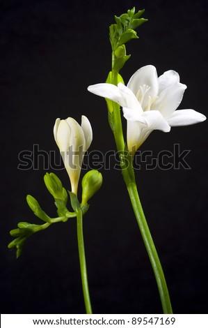 White freesia on black background - stock photo