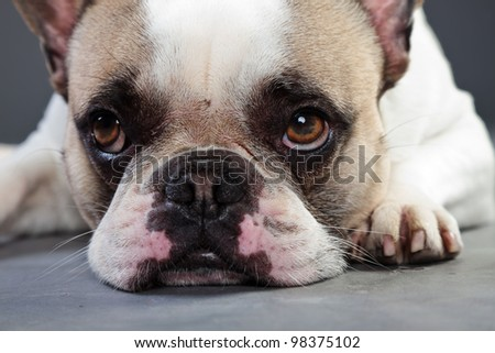 White french bulldog isolated on grey background. Studio portrait.