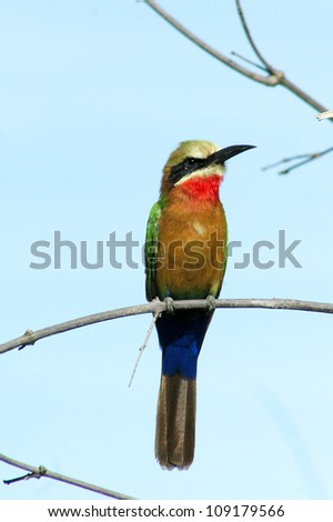 White Fronted Bee-eater. Botswana. - stock photo