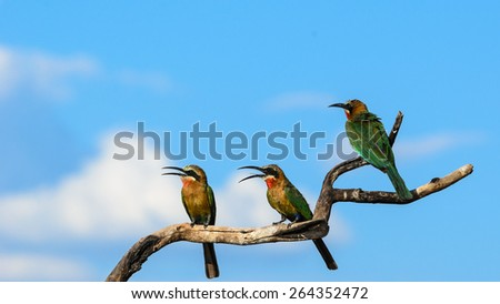 White fronted bee eaters on a branch - stock photo