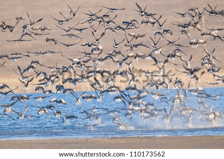 White Fronted Geese flock in Danube Delta - stock photo