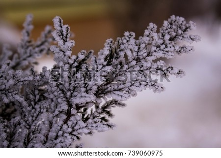 White Frost on Pine Tree Branch