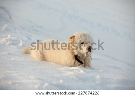 White furry dog in winter mountains on sunny day