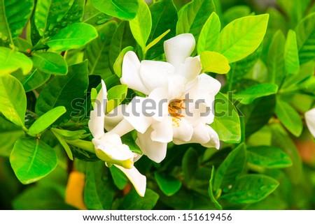 white gardenia flowers - stock photo
