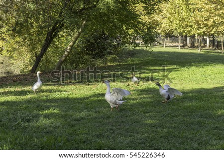 White geese  walk on grass. Dion Archaeological Park, Pieria, Greece.