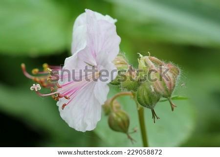 White geranium - stock photo