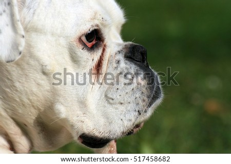 White German Boxer Dog