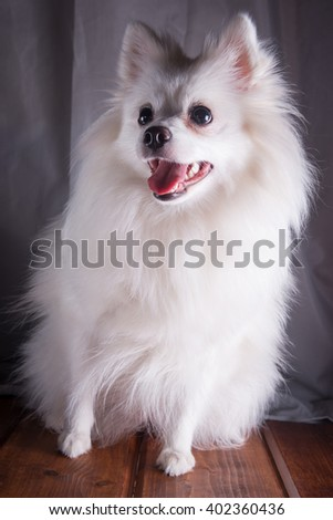 White German Spitz Pomeranian sits on a wooden floor on gray background. Dog posing, putting paws. Free space for text