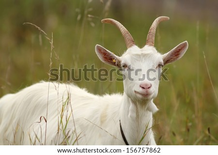 white goat - stock photo