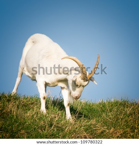 White goat in grass field against blue sky - stock photo