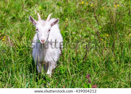White goat in the grass