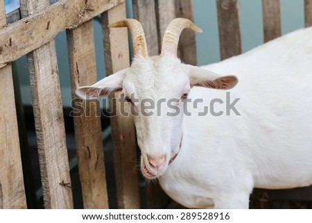white goat in wood cage, long horn in farm, View of goats with white willow living in cage in natural park. - stock photo