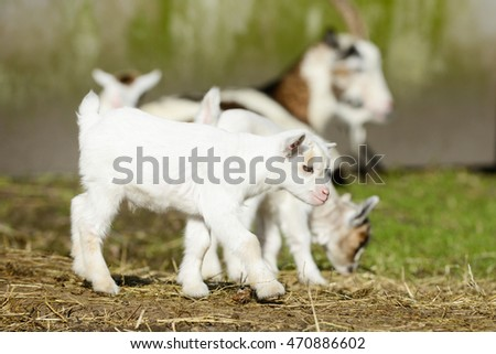 white goat kid running on straw