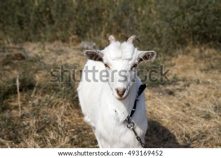 White goat on a green meadow poses for the camera