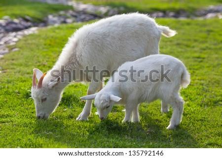 white goats feeding on the farm - stock photo