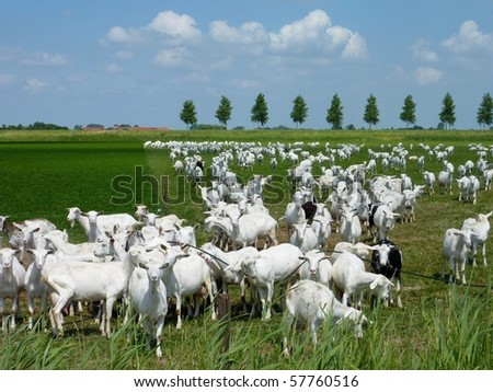 White goats in a meadow of a goat farm