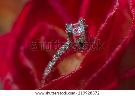 White gold diamond ring in Red rose taken closeup with water drops - stock photo