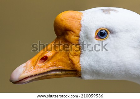White goose head close up