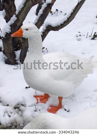 White goose in snowy landscape. This goose survived Christmas - in Germany, a goose (not a turkey) is a traditional Christmas meal. - stock photo