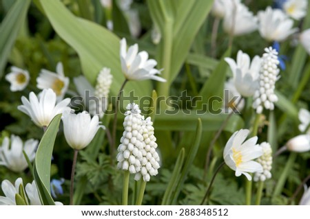 white grape hyacinth and anemone The Netherlands - stock photo