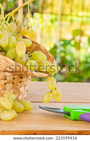 white grape in basket and secateurs on wooden table in vineyard - stock photo