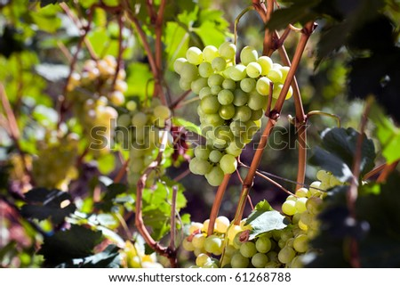 White grape on a whine - stock photo