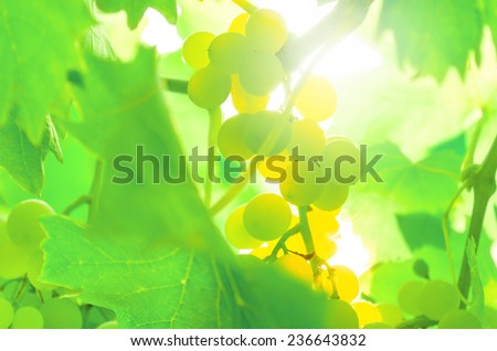 White grape on the vine, back lit. - stock photo