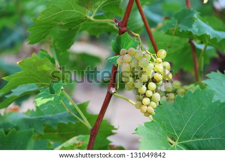 White grapes in the vineyard close up - stock photo