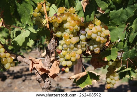White Grapes in the Vineyard. Stellenbosch. South Africa - stock photo