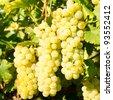 White grapes in vineyard - stock photo