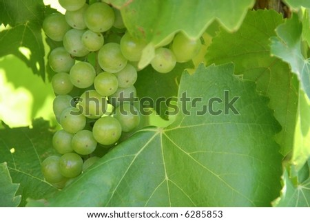 White grapes on the vine - stock photo
