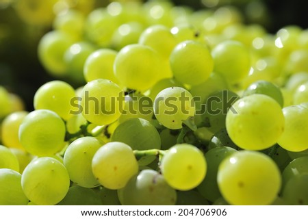 white grapes ready to be harvested in vineyard - stock photo